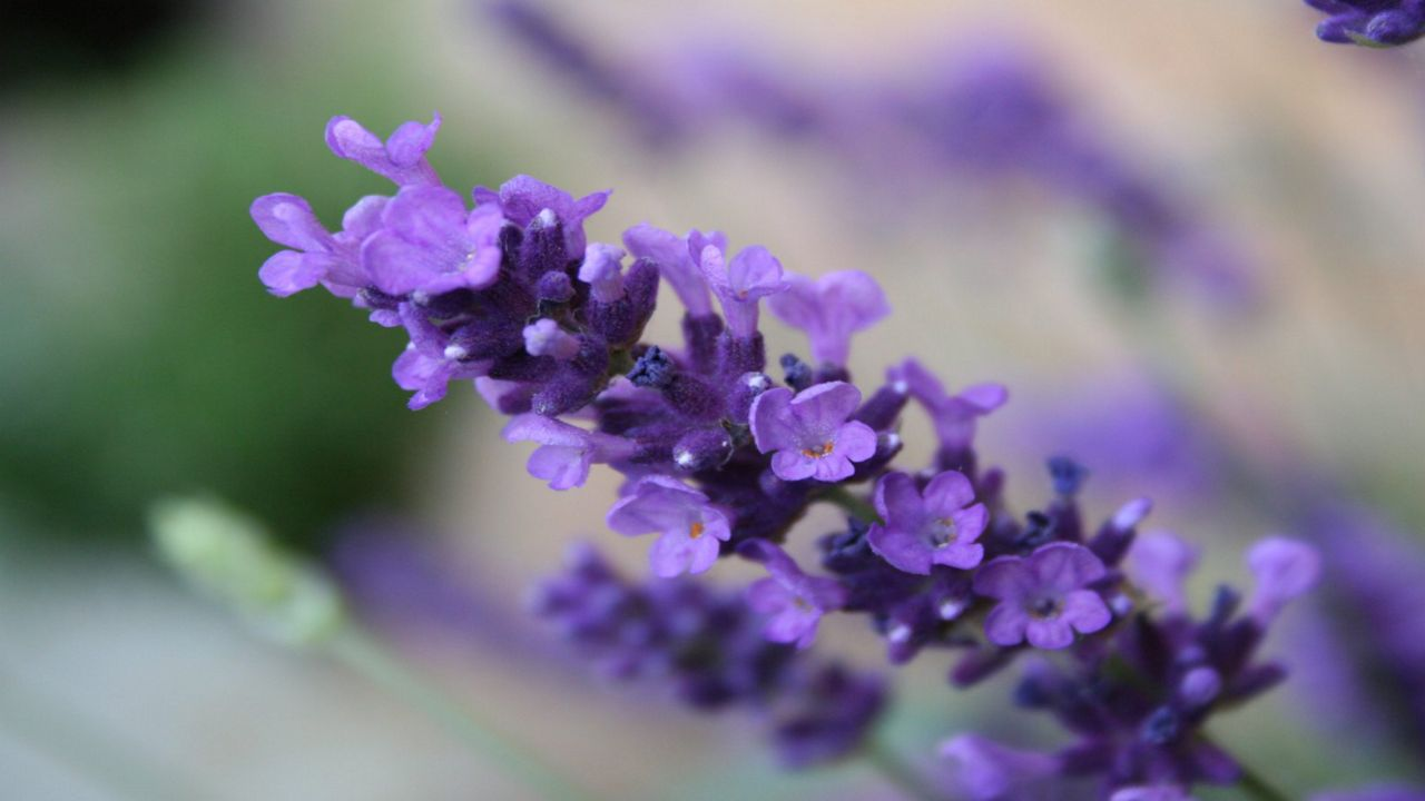 Something smells good, it must be the lavender