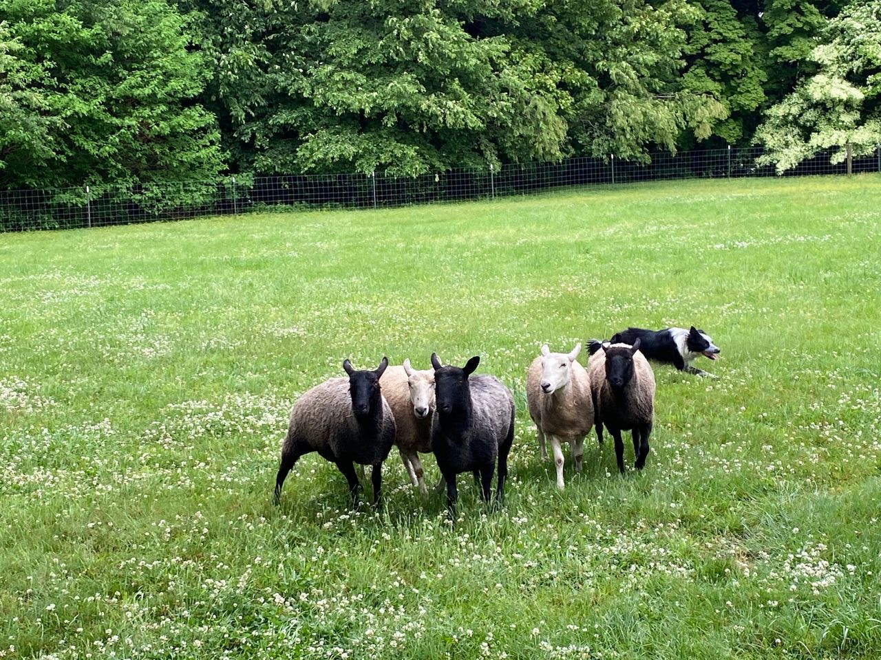 Once an Akron stop on the Underground Railroad, sheep return to Mutton Hill
